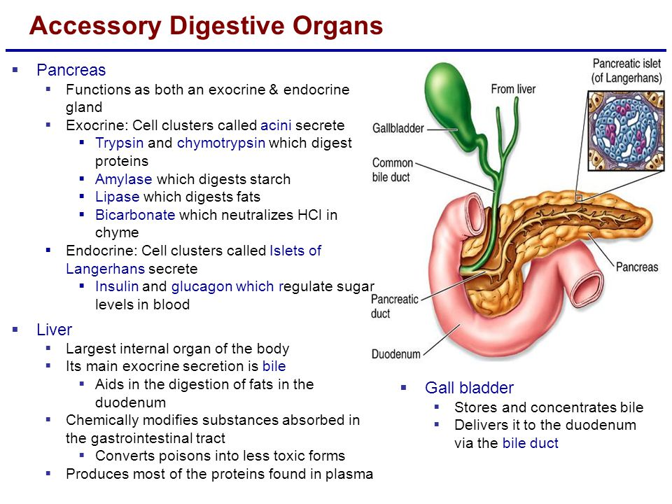 Nice Pancreas Function In Digestion Ornament Image Of Internal